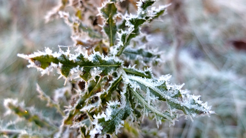 thistle leaf edged with frost
