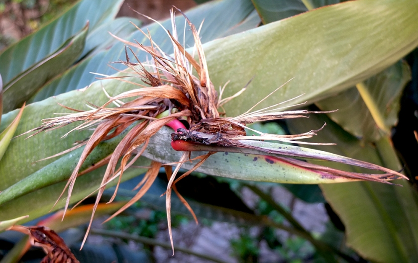 dead bird of paradise flower