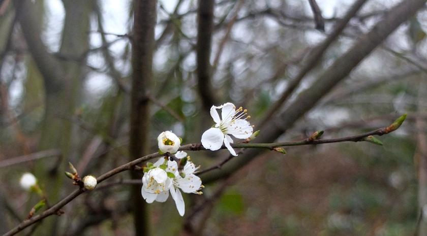 blossom-7276
