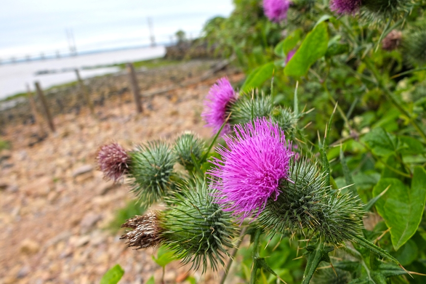 Thistles near the Severn Estuary