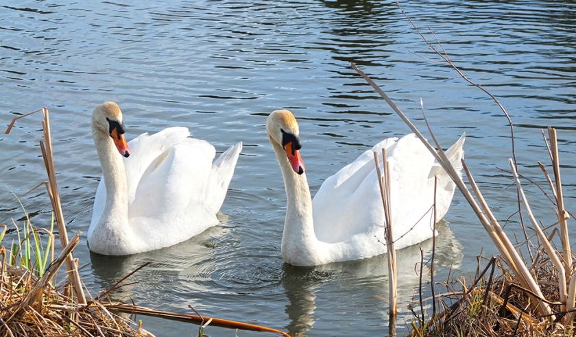 Pair of swans on the River Avon
