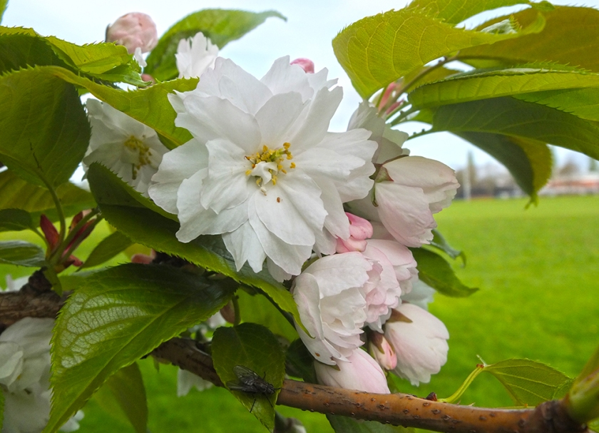 ornamental blossom