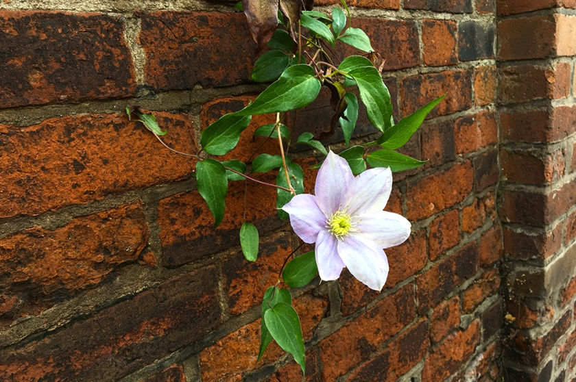 clematis trailing against red brick wall