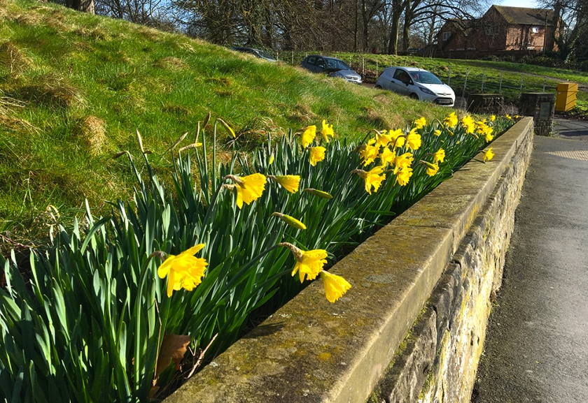 daffodils looking over low stone wall