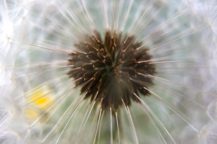 inside a dandelion clock