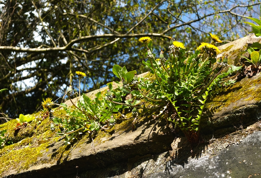 dandelions growing high on old stone wall
