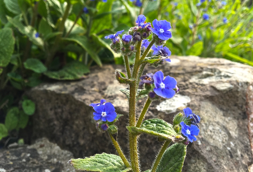 green alkanet and stone wall
