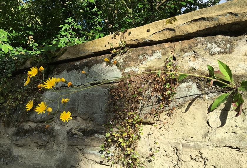 hawkweed growing high on old stone wall