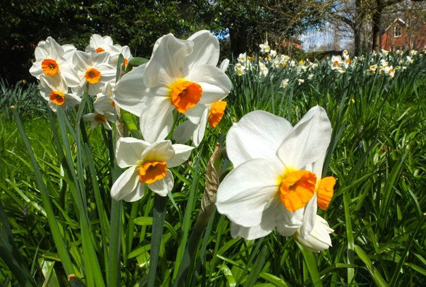 White orange-eyed narcissus