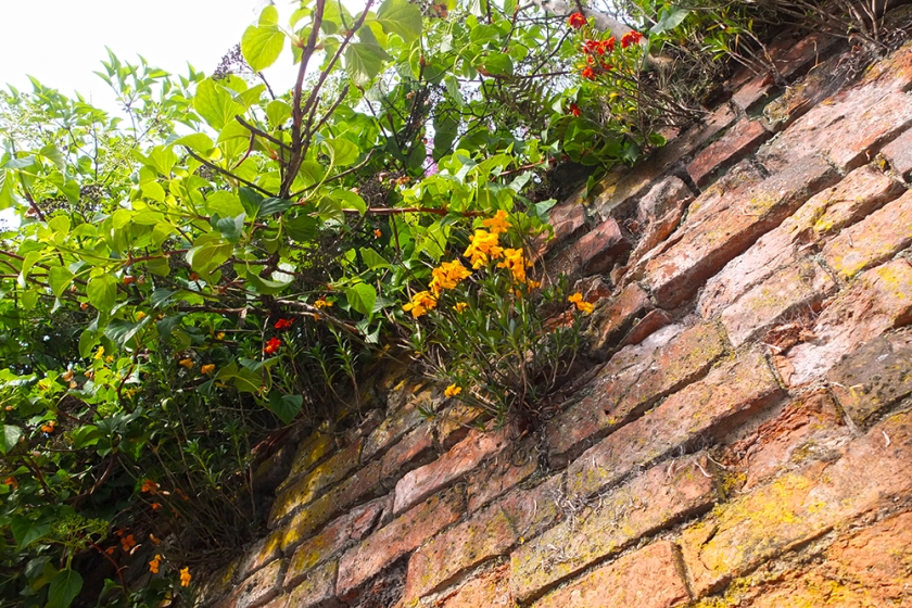 wallflower growing high on red brick wall