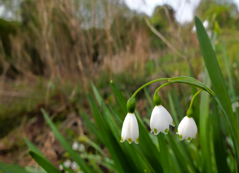 Loddon lily - summer snowflake - white bell-shaped flower