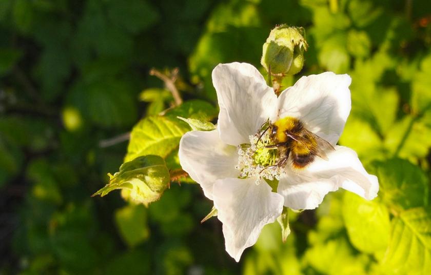 Bee on bramble flower