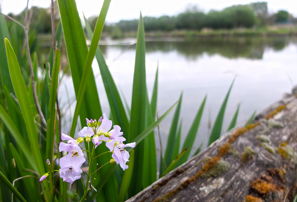 cuckoo flower and lake