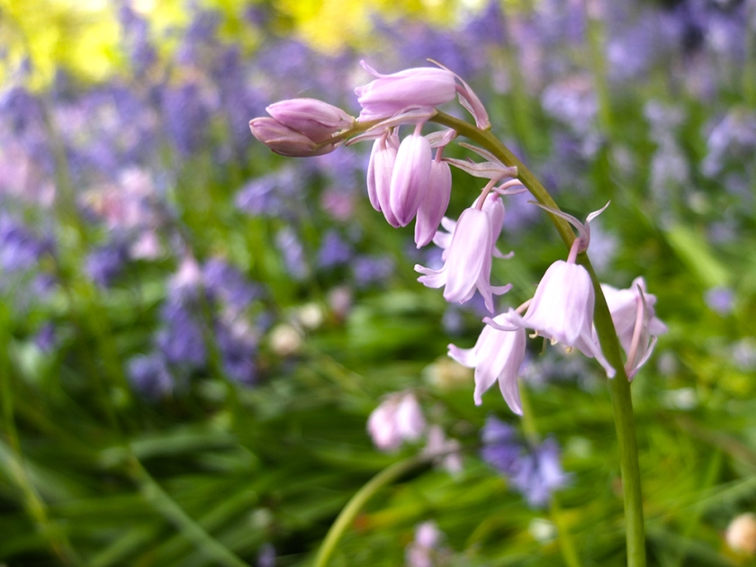"""Pink """"bluebell"""""""