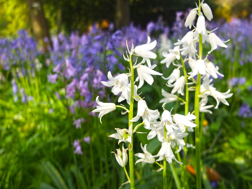 "White ""bluebell"""
