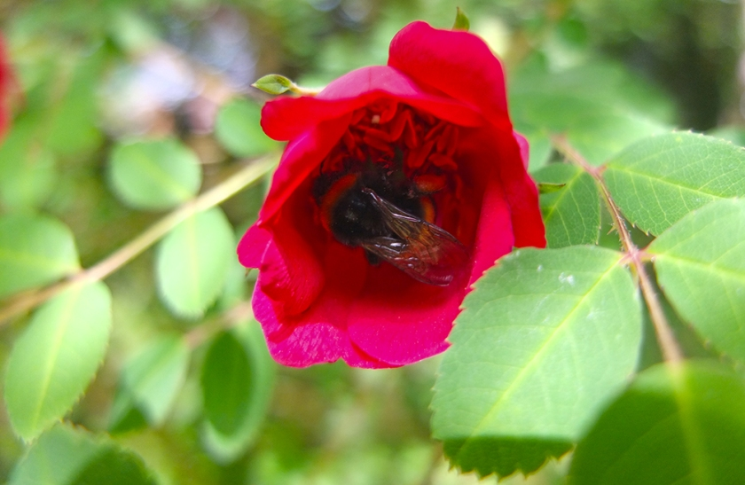 bumble bee inside half-open red wild rose flower