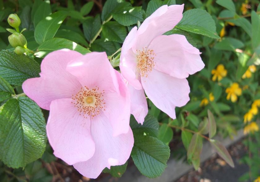 wild pink roses