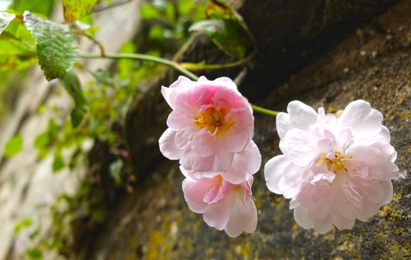 tumbling pink roses