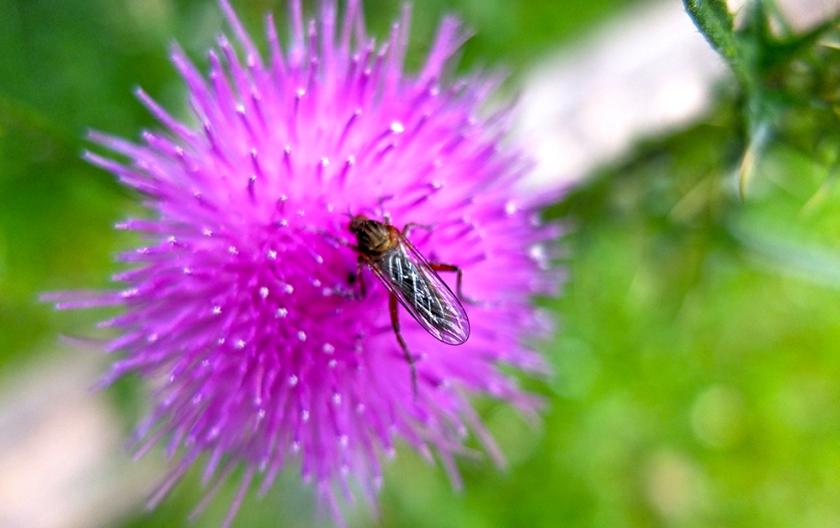 bug on thistle flower