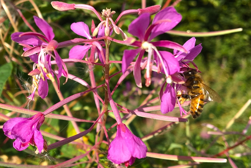 bee on rosebay willow herb