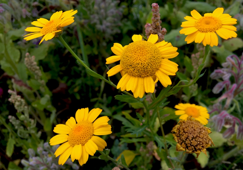 yellow daisy-like flowers