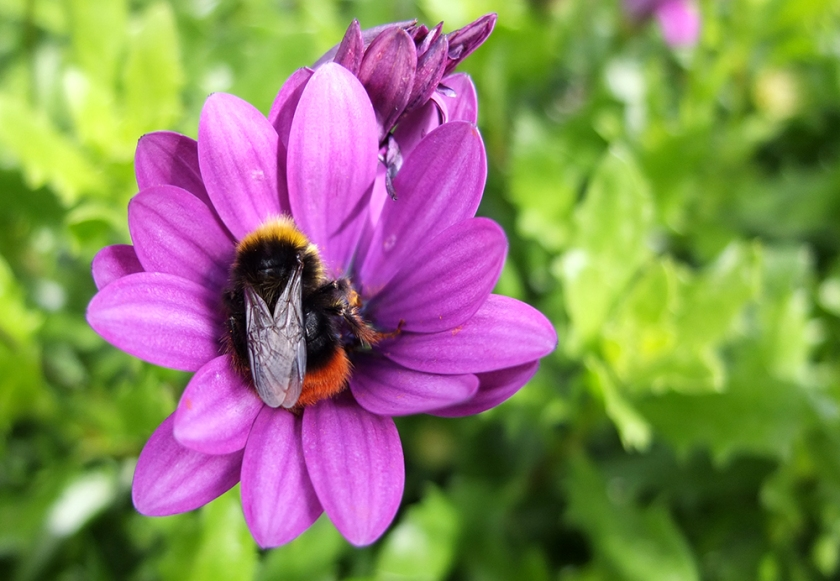 bee on purple gazania flower