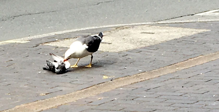 seagull eating dead pigeon
