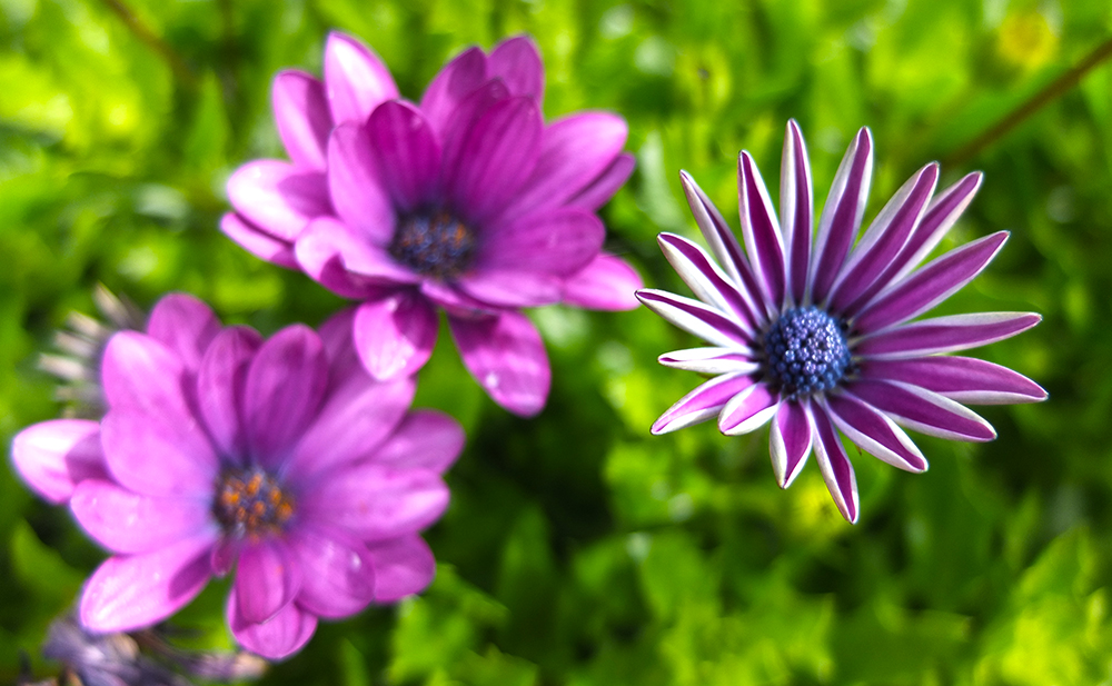 purple gazania flowers