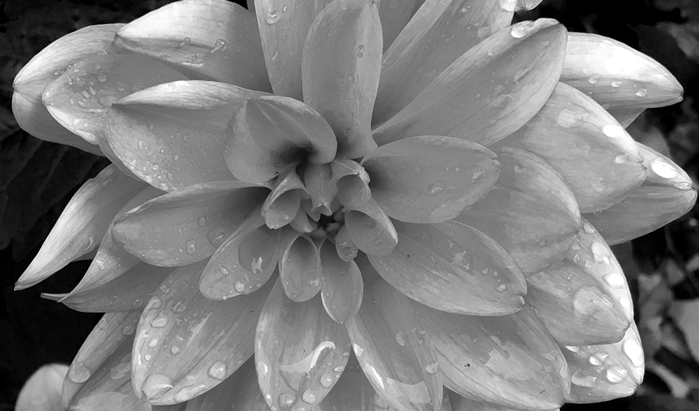 Dahlia. Black and white