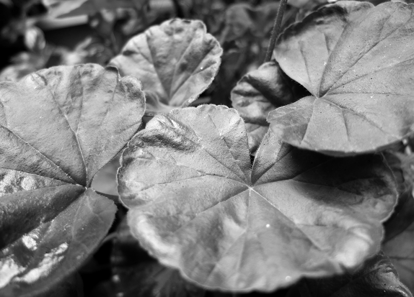 geranium leaves (black & white photo)