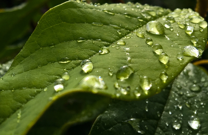 green leaves with rain drops