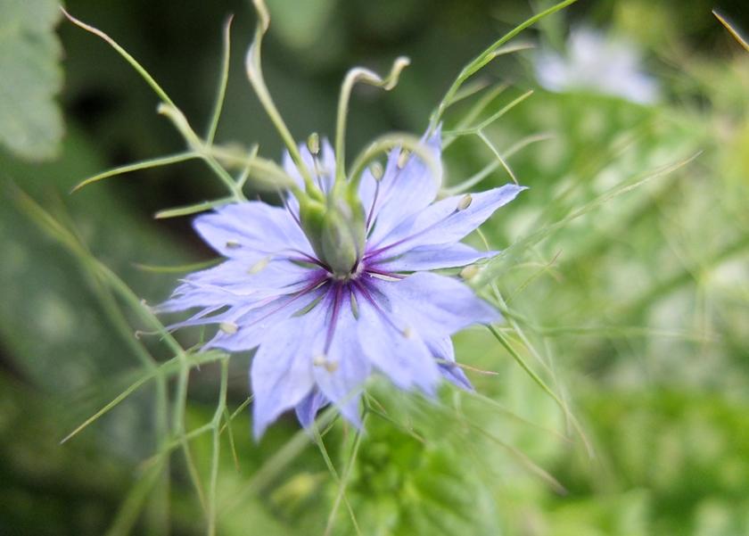 Nigella damascena love-in-a-mist flower