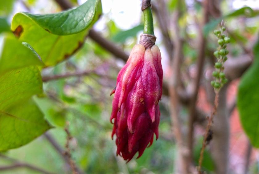 unripe magnolia wilsonii seed pod