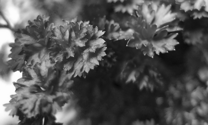 parsley plant (black & white photo)