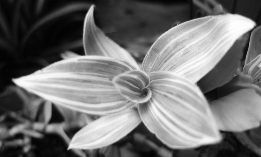 tradescantia (black & white photo)