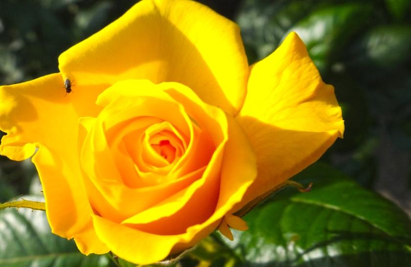yellow rose close up