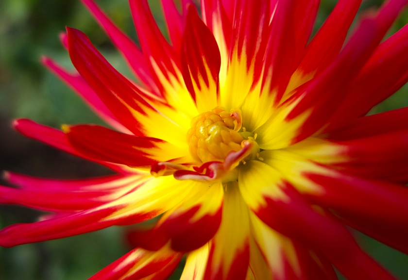 red and yellow spiky dahlia