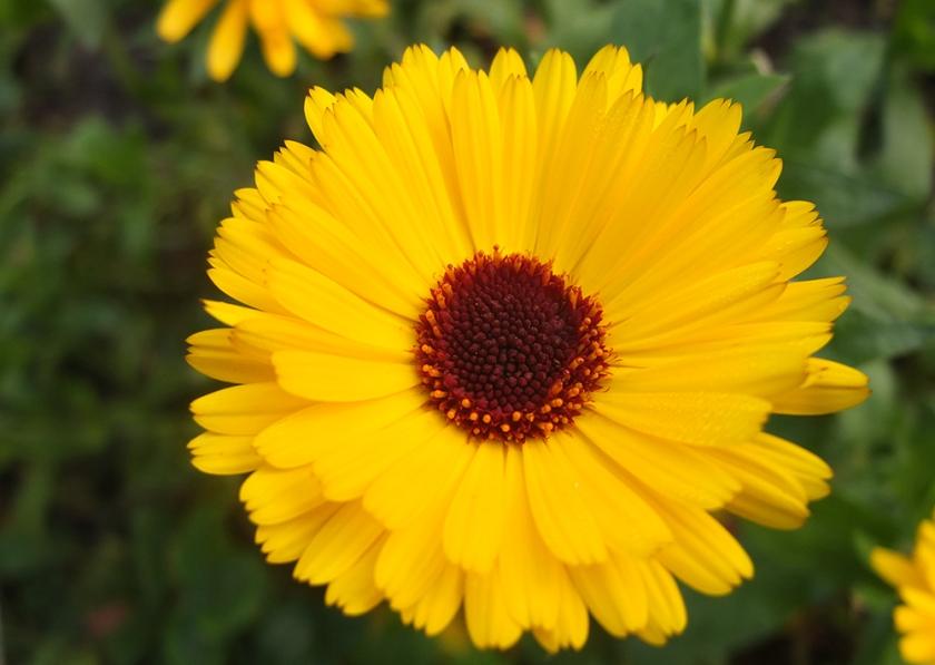 yellow daisy marigold