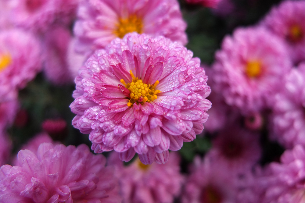 pink button chrysanthemum