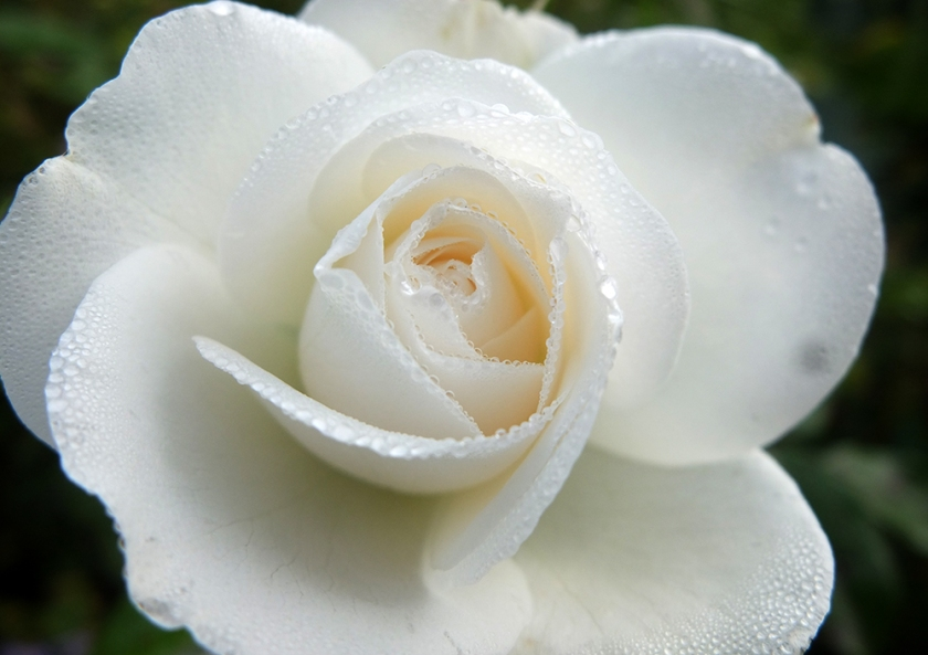 white rose dotted with rain drops
