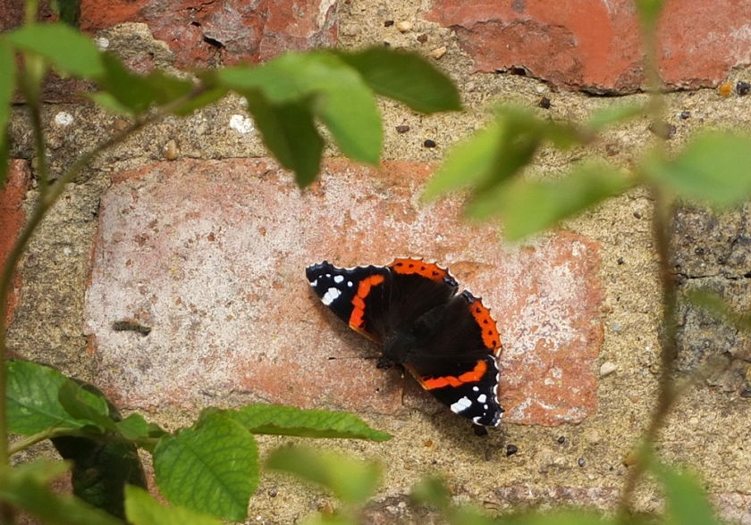red admiral butterfly on a stone wall