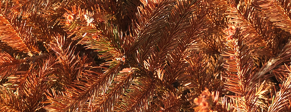 close up of dead Christmas tree