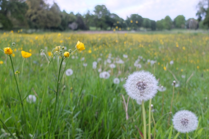 buttercups and dandelion clocks