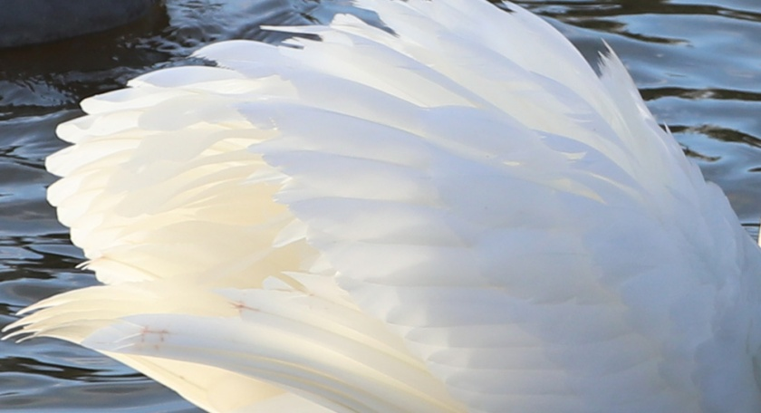 swan's wing