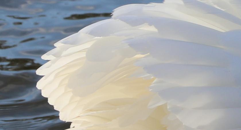 swan's wing