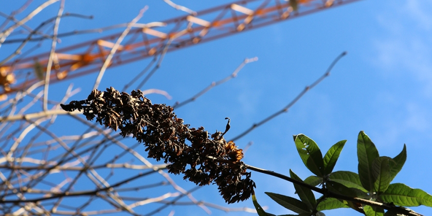 buddleia seed head, bare twigs and construction crane agains blue sky