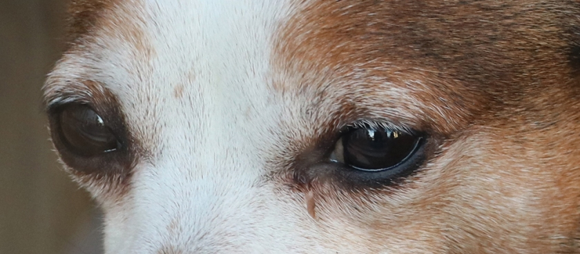 Dog eyes.