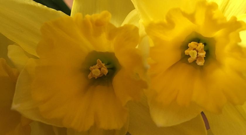 close up daffodils