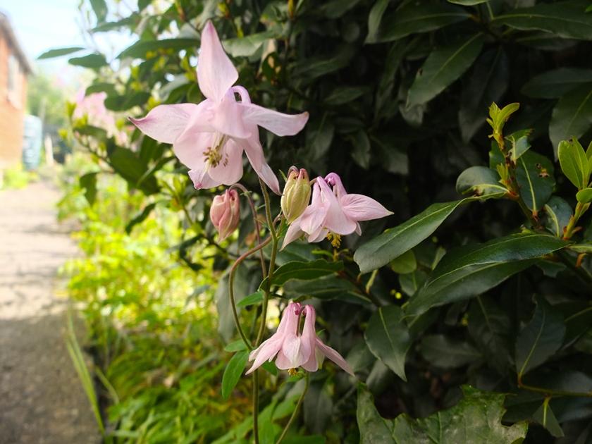 pale pink aquilegia