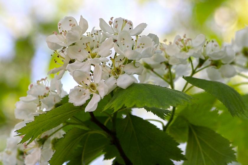white ornamental tree blossom